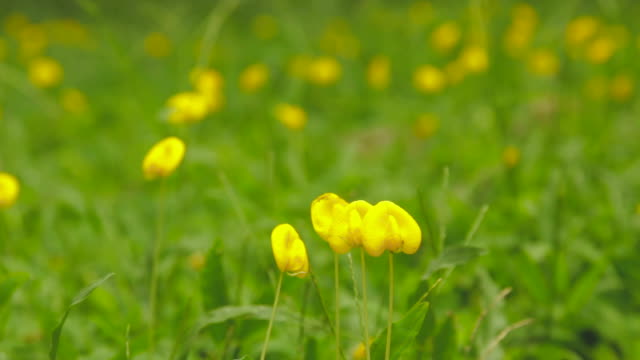 Green field of Pinto Peanut (Arachis pintoi) video