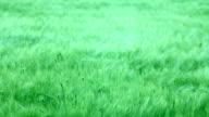 Green field (HD) video