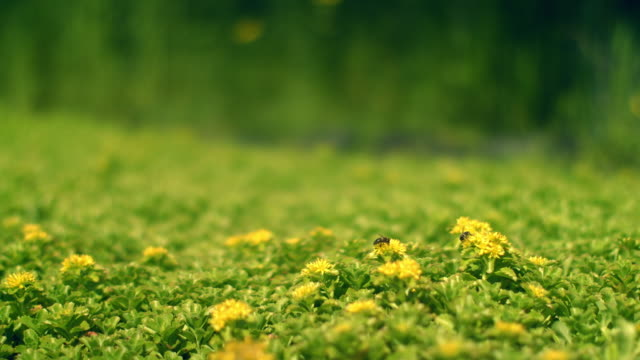Green field with yellow flowers. Bee collects nectar on flower. Spring flowers video