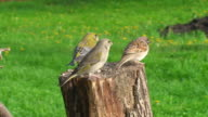 Green Finch and Sparrow video
