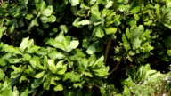 Green foliage sways in the wind video