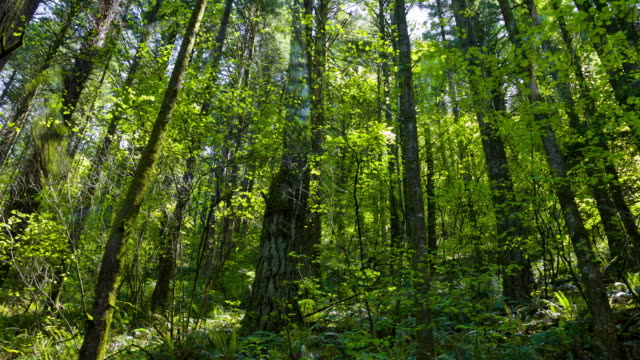 Green Forest with Douglas Fir Tree video