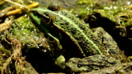 green frog in the pond video