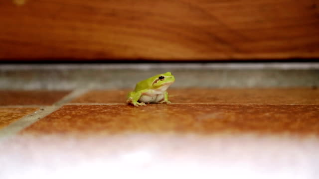 Green frog on floor in South of France Home video