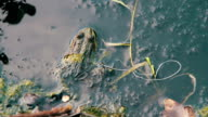 Green Frog Sitting in the River near the Lilies video