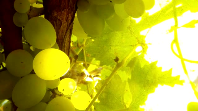 Green Grape and Leaves Wasp Fly Wings Shine on Sun Close Up video