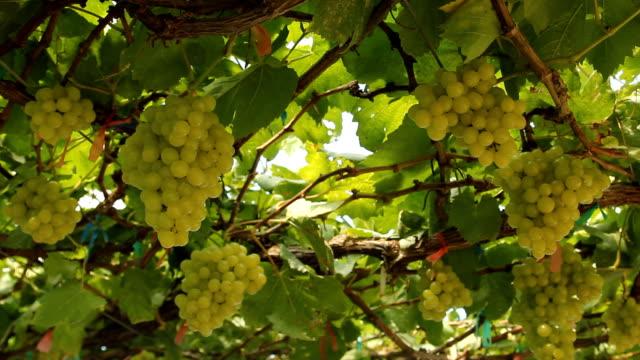Green Grape video