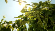 Green Grapes Against The Sun video