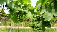 Green grapes farm video