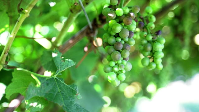 Green grapes in tree video