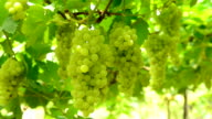 Green grapes on the vine video