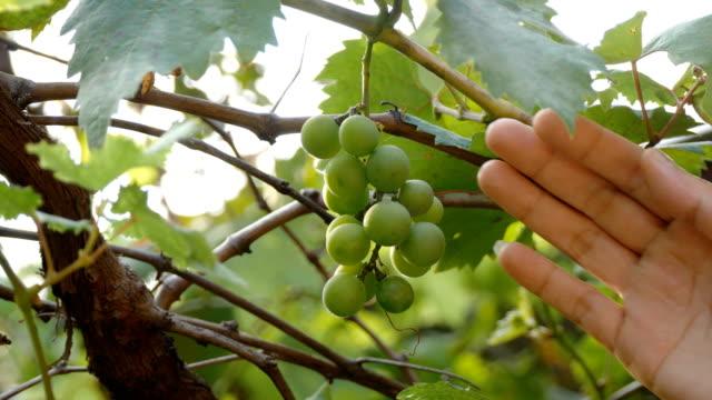 green grapes video