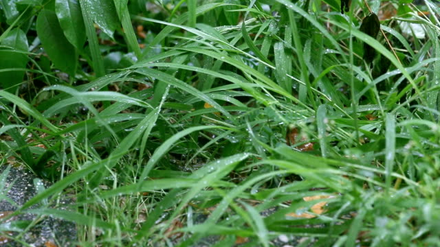 green grass at shaking and soaked by rain shower video