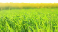 Green grass background in HD video