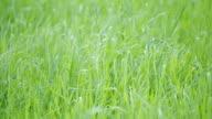 green grass loop video