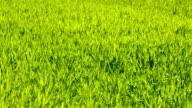 Green grass texture video