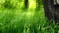 Green grass under the tree. video