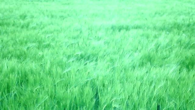 Green grass (HD) video