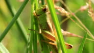 Green grasshopper eats a grass video