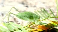 Green grasshopper on a Sunny day. Macro video