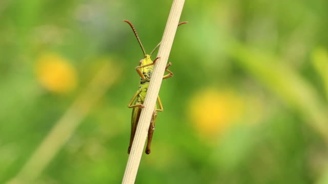 Green grasshopper on the twig video