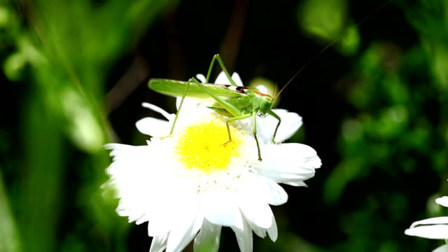 Green grasshopper on white and yellow flower closeup video