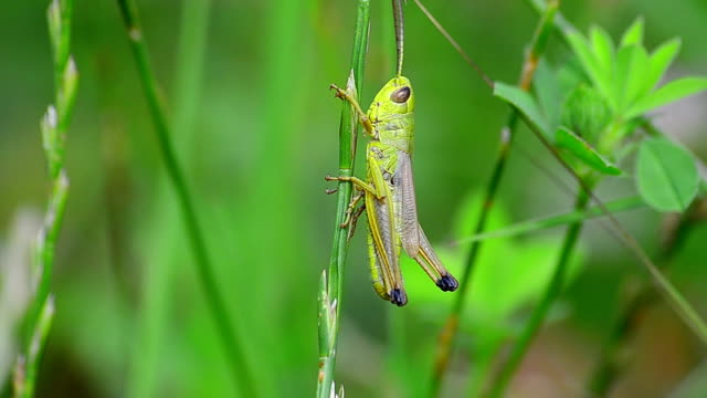 Green grasshopper video