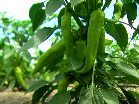 Green Hot Peppers - Close up video