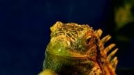 Green Iguana Close-Up video
