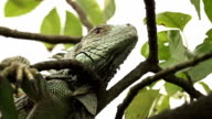 CLOSE UP: Green iguana in a tree video