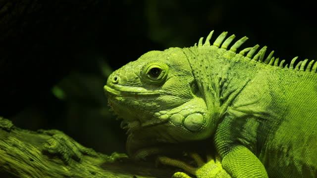 Green iguana on black background video