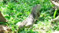 Green iguana on grass video