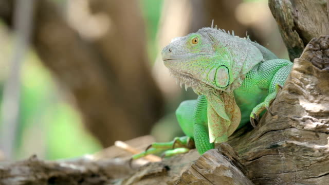 Green iguana sitting on a tree branch video