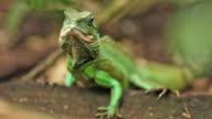 Green Iguana video