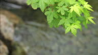 HD: Green Japanese Maple video