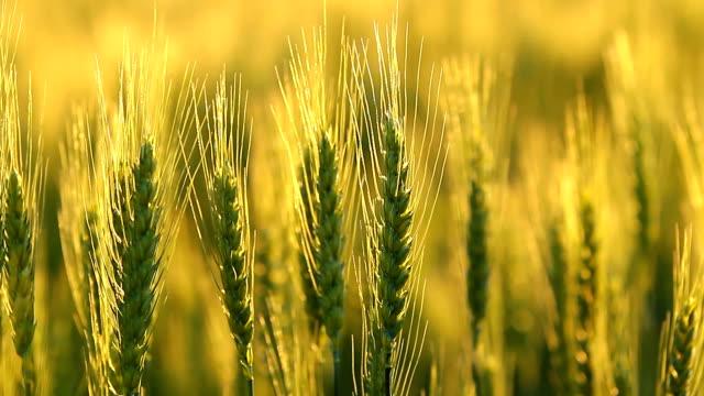 Green Kansas Wheat Closeup video