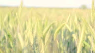 Green Kansas Wheat Closeup video