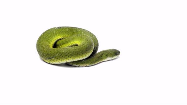 green keelback snake video