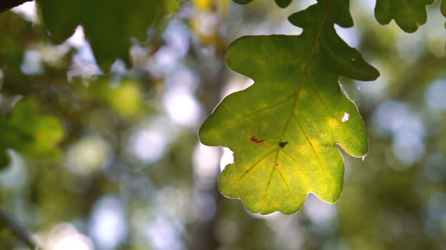 A green leaf of oak in the sunlight. Close-up video