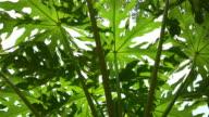 green leaf papaya, nature scene video