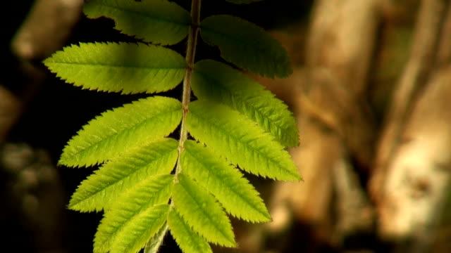 green leaf rowan video