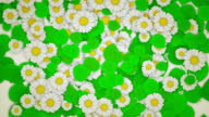 Green Leaves and Daisies On White (Vertical Pull Out) video