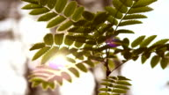 Green leaves and summer sun video