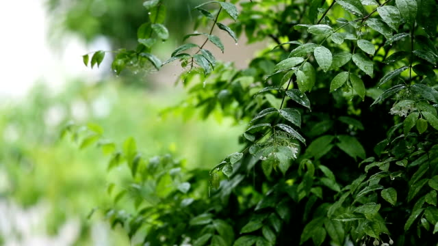 green leaves at treetop of banyan tree wet and shaking by wind and rainy video