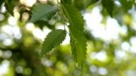 HD Green leaves of Elm tree swaying in the wind video