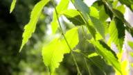 Green leaves of elm tree with defocused background video