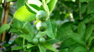 Green leaves of lime tree with water drops video