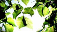 Green Leaves (HD 1080p) video