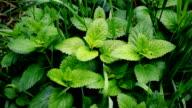 Green lemon balm and grass blades fill the frame video