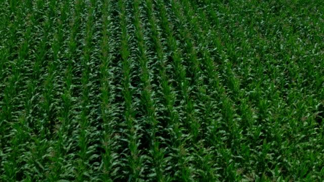 AERIAL: Green maize field video